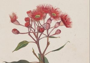 Though best-known today for her iconic Snugglepot and Cuddlepie books, May Gibbs was originally trained as a botanical artist and illustrator. Visit Carrick Hill to view this beautiful collection of rarely seen May Gibbs art.